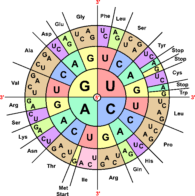 Chart Codon Circle Mrna
