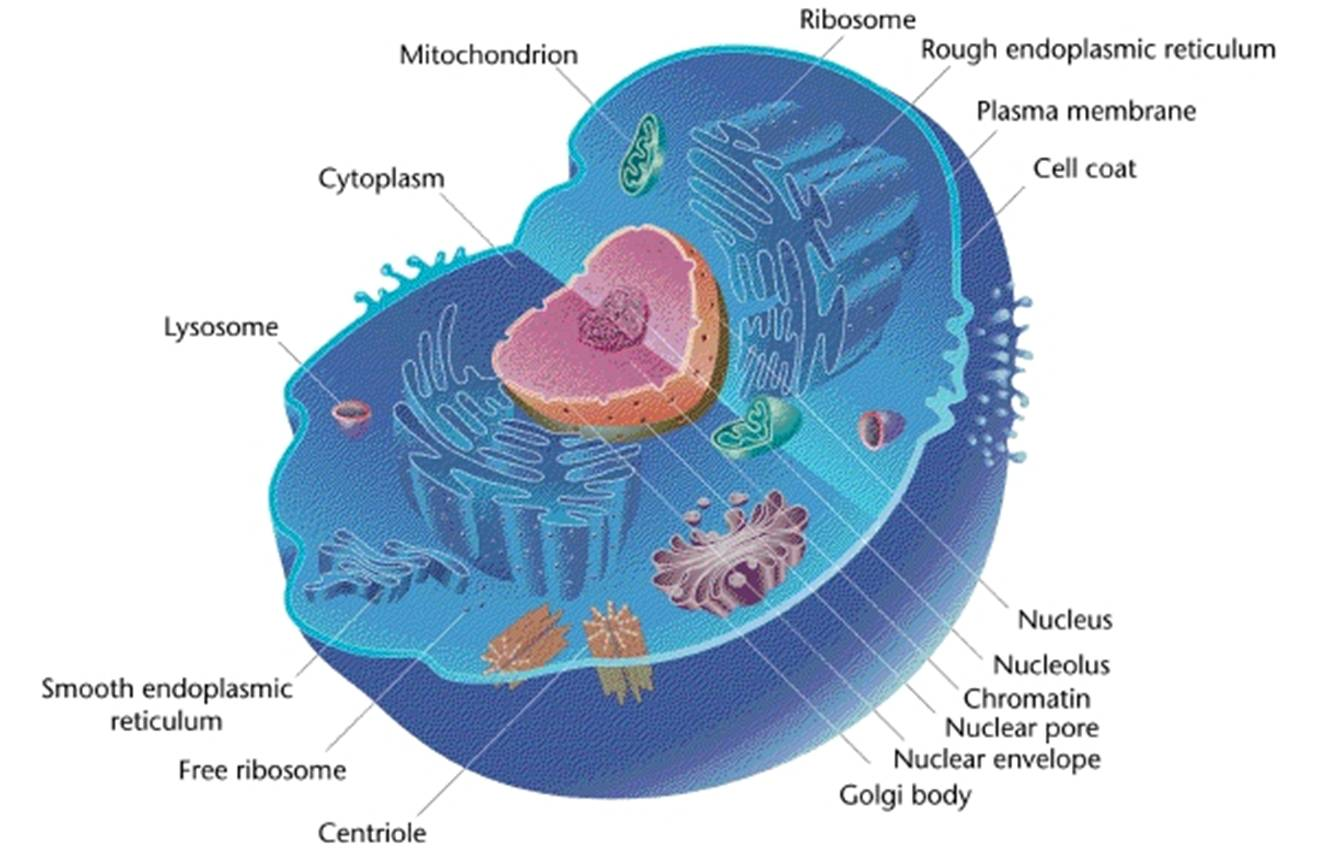 Identify And Label Diagram Cell Organelles