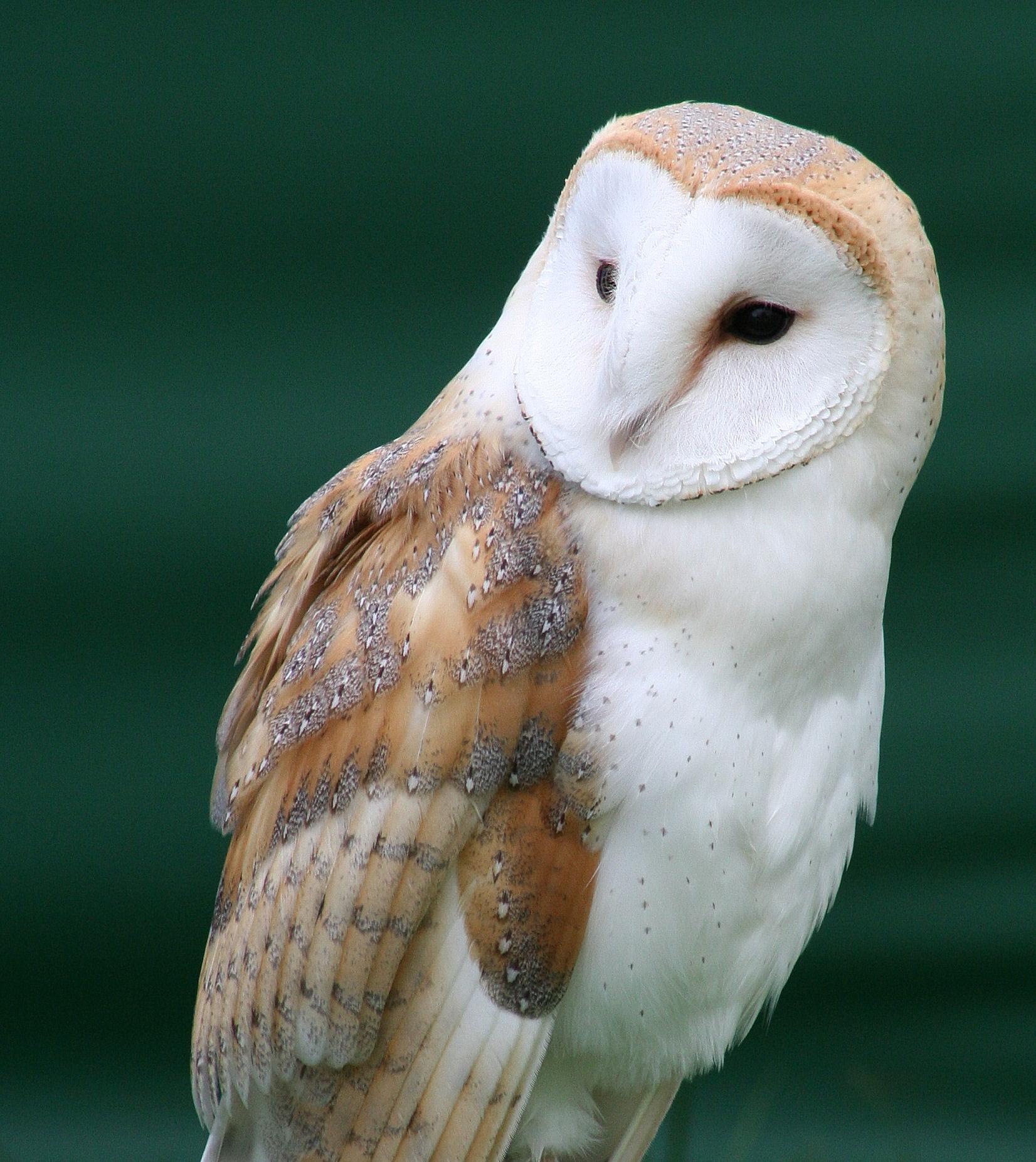 File:Tyto alba close up.jpg - Wikipedia
