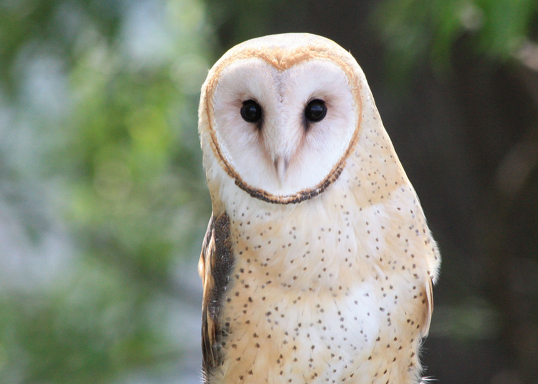 barn owl sounds - HD 2100×1500