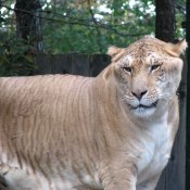 Lion Vs Tiger Aslan Vs Kaplan (4)