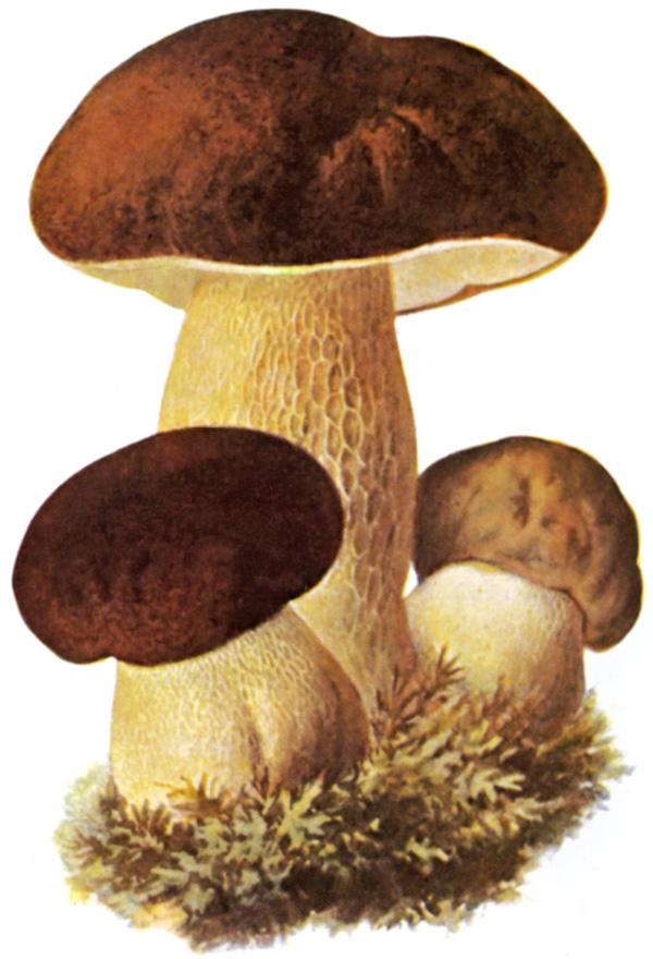 Steinsopp Wikipedia