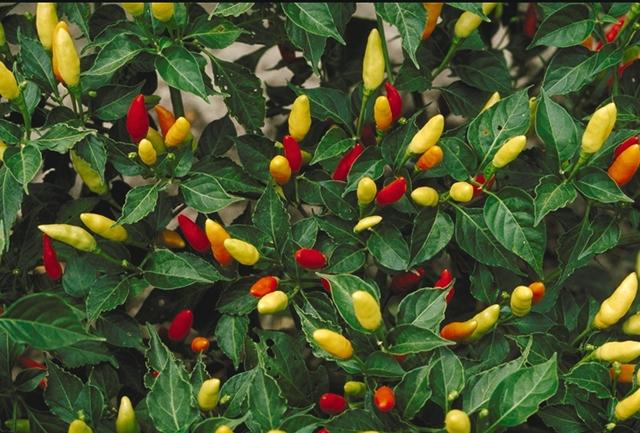 Yellow Ornamental Pepper