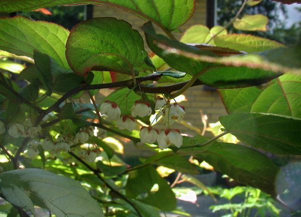 Actinidia Wikispecies