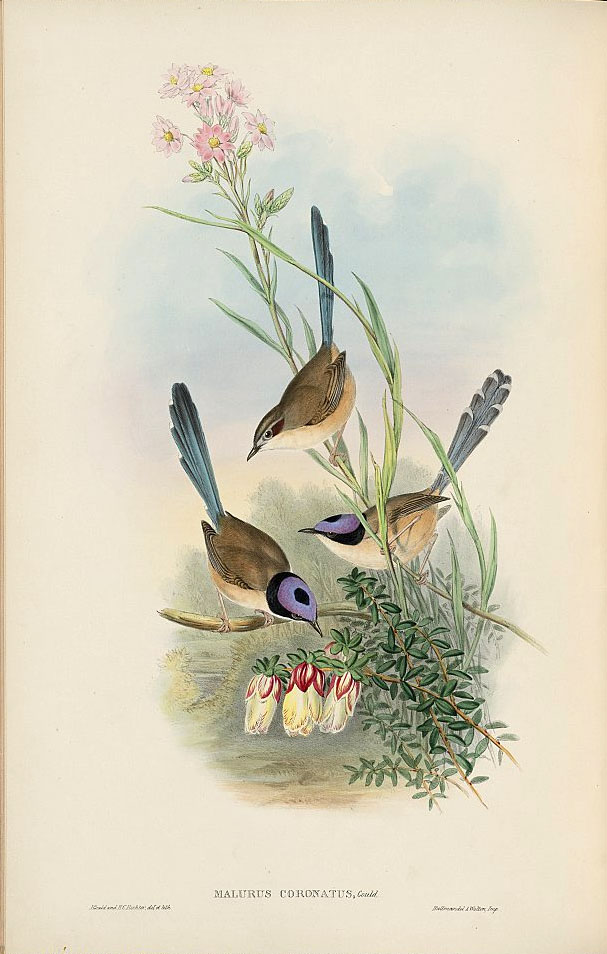 Purple Crowned Fairywren Wikipedia