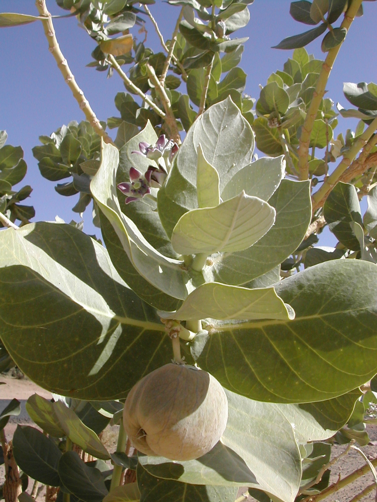 Calotropis Wikispecies