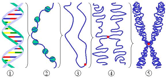 DNA condensation - Wikipedia