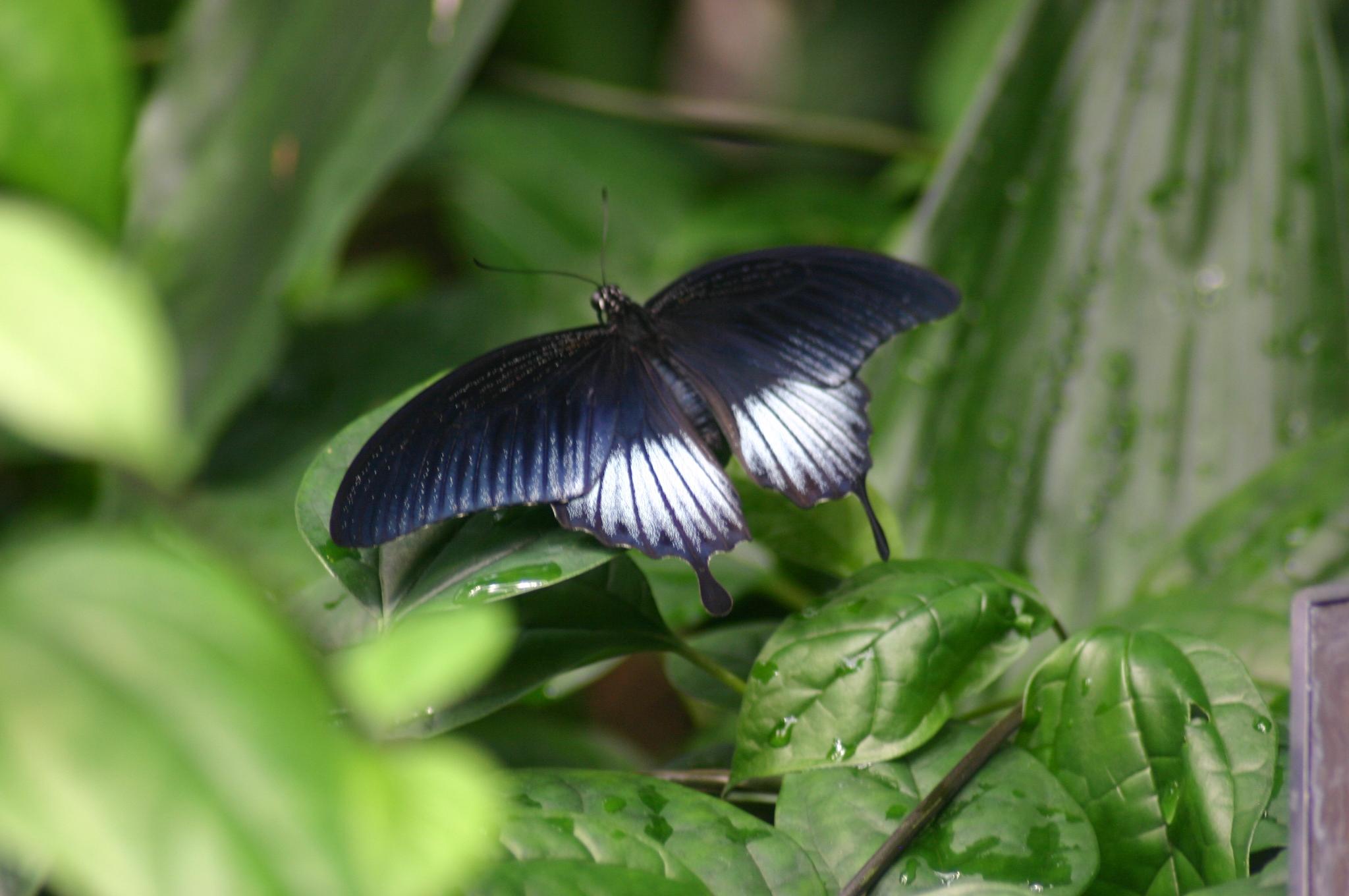 Best Kitchen Gallery: File Tropical Butterfly House Wikimedia Mons of Tropical Butterfly House  on rachelxblog.com