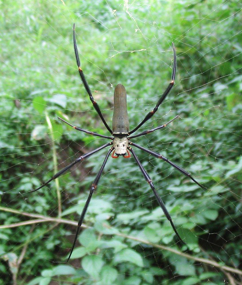 Nephila Pilipes Wikipedia