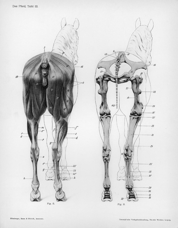 Rear Leg Bones Of A Dog