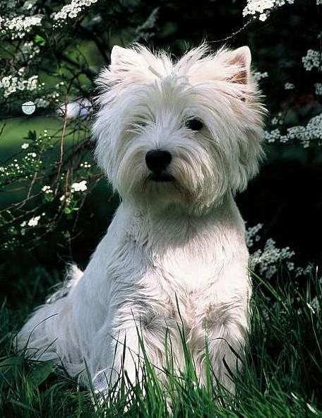 West Highland white terrier – Wikipedia, wolna encyklopedia
