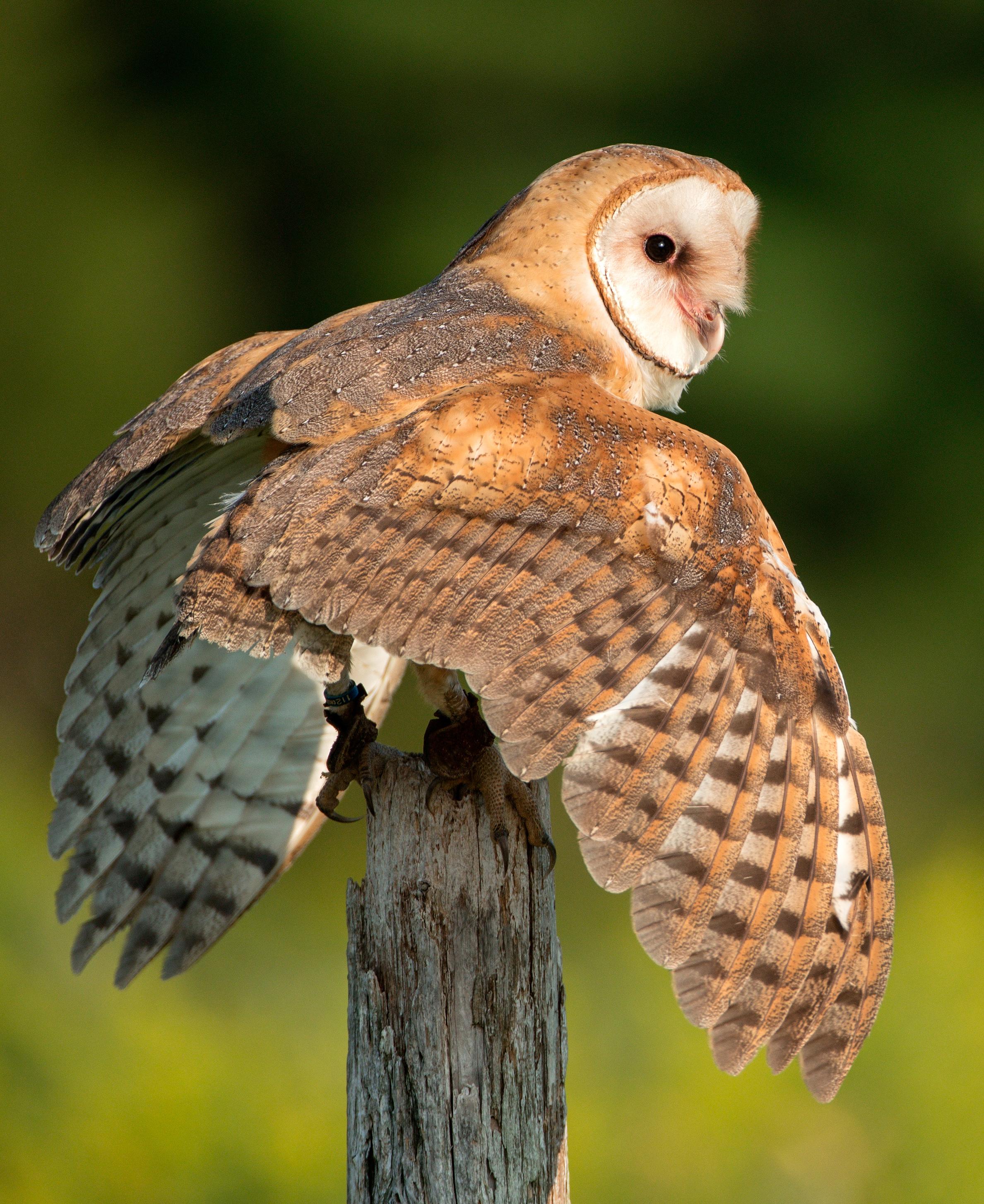 File:Barn Owl, Canada.jpg - Wikimedia Commons
