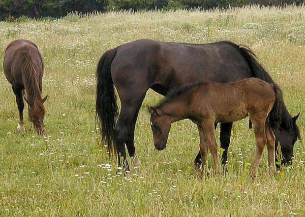 realistic horse breeds # 44