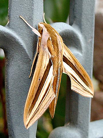 Theretra Oldenlandiae Wikipedia