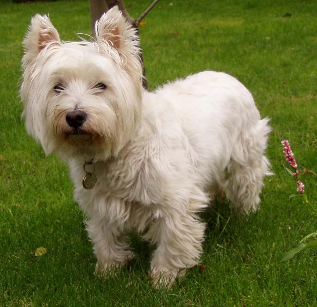 West highland white terrier – Wikipédia
