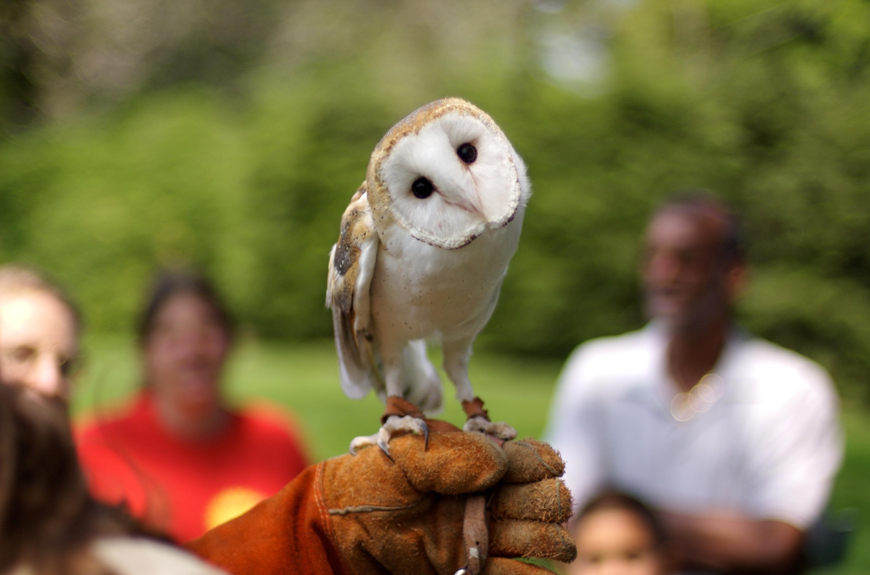 File:Barn Owl.jpg - Wikimedia Commons