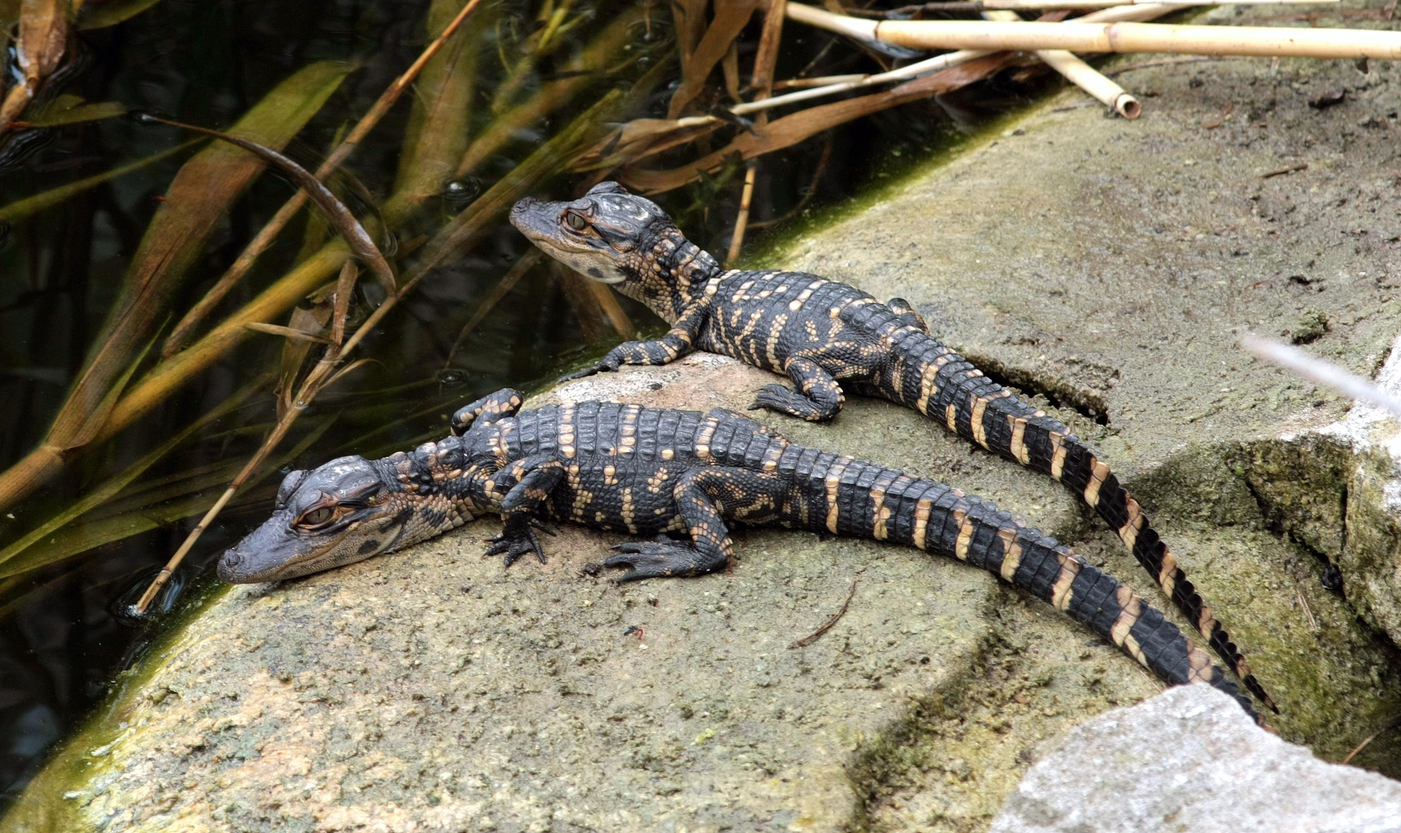 Alligator Pictures Alligators Baby
