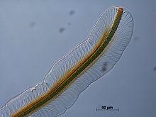 Petalonema alatum - Wikipedia