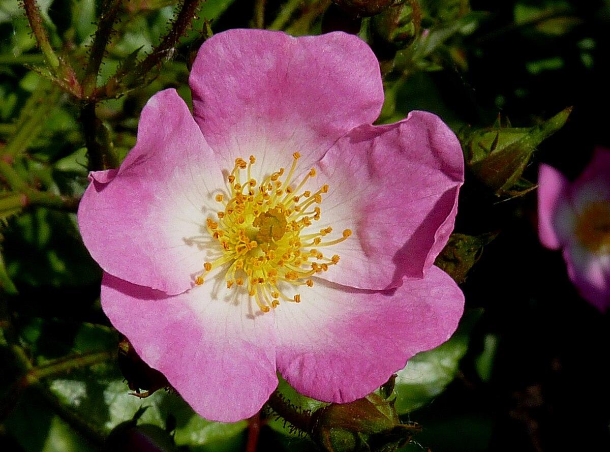 Rosa Ballerina 1937 Wikimedia Commons