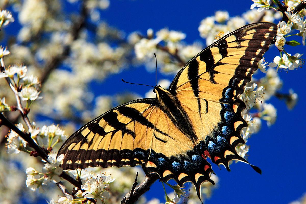 Papilio multicaudata - Wikipedia