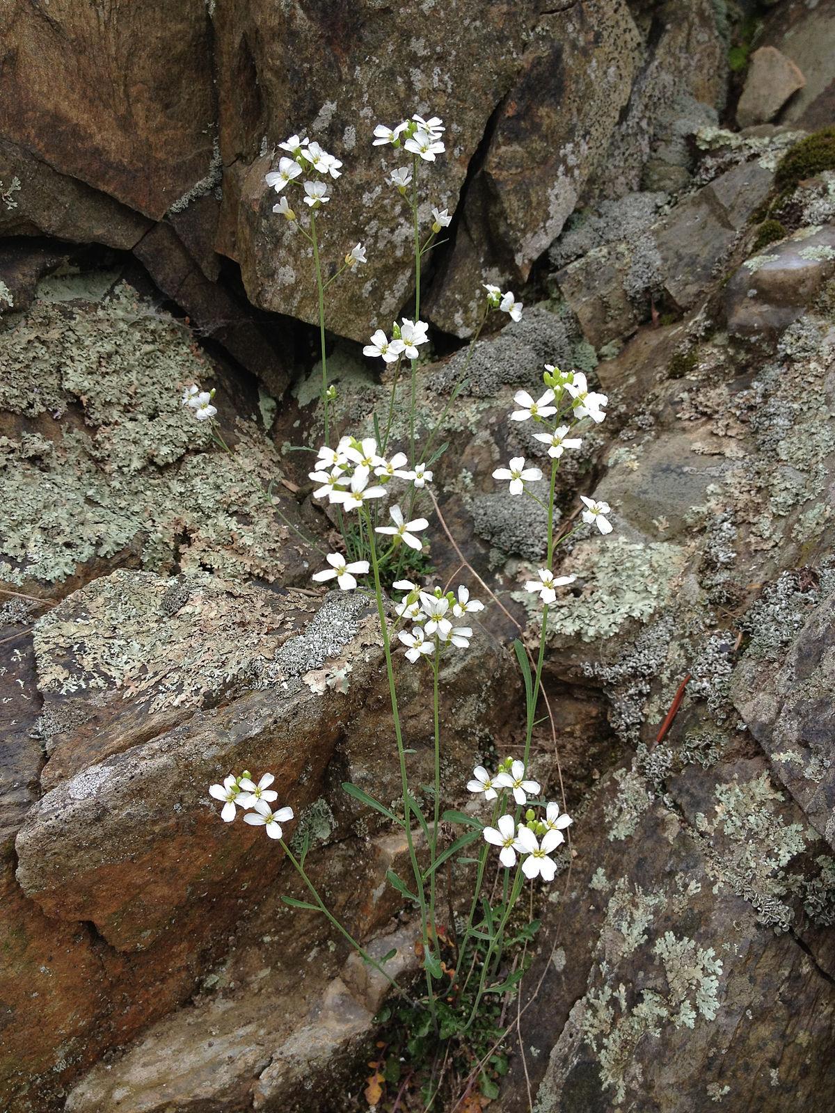 Arabidopsis Lyrata Wikipedia