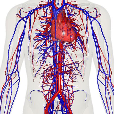 circulatory system images - 640×640