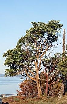 Arbutus Menziesii Wikipedia