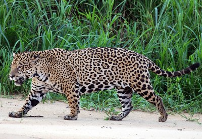 Jaguar - Wikipedia