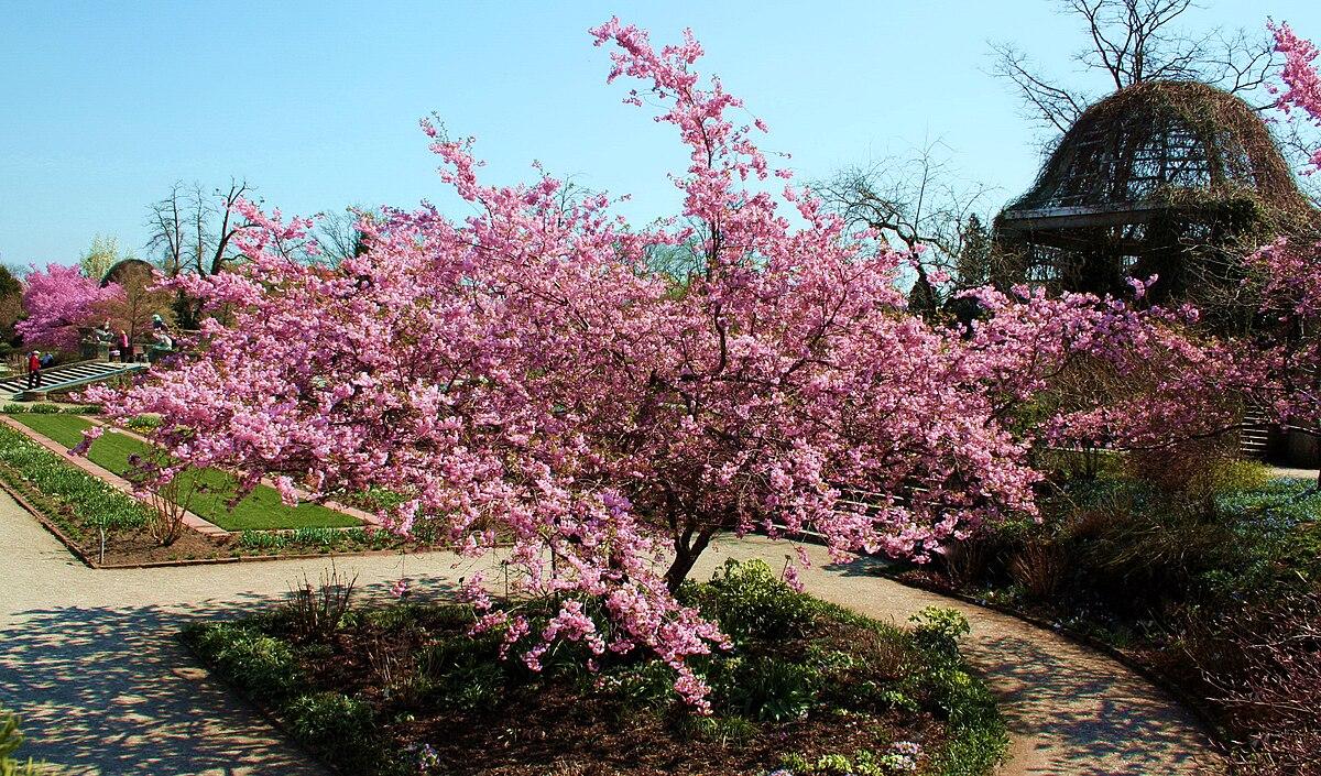 Prunus Sargentii Wikipedia