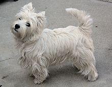 West Highland White Terrier - Wikipedia