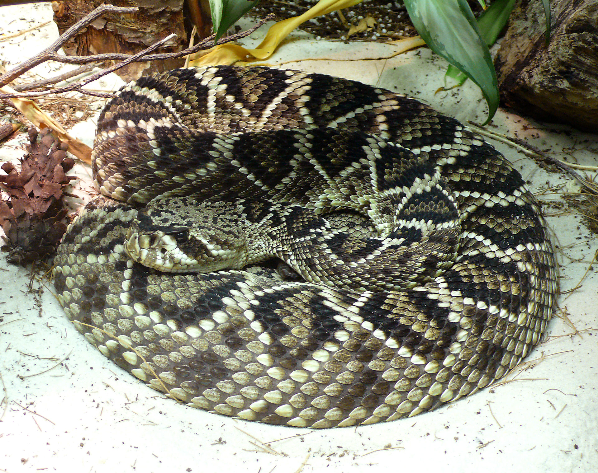 Eastern diamondback rattlesnake - Simple English Wikipedia ...