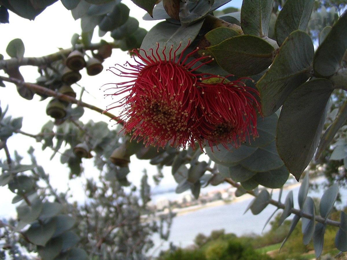 Eucalyptus Rhodantha Wikipedia