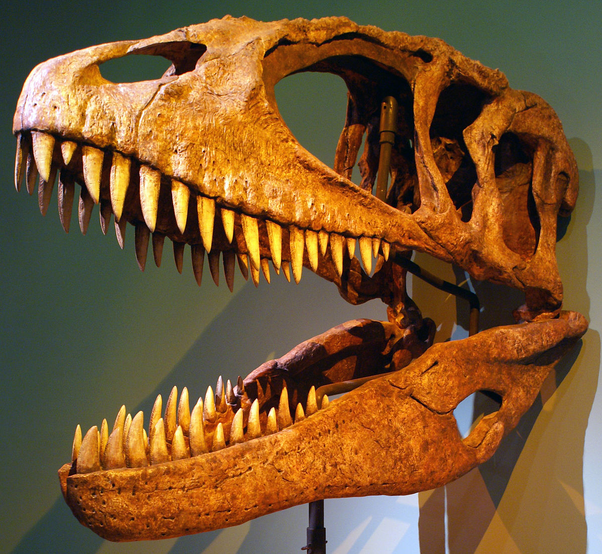 Carcharodontosauridae Wikipedia