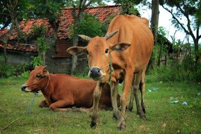 Madura cattle - Wikipedia
