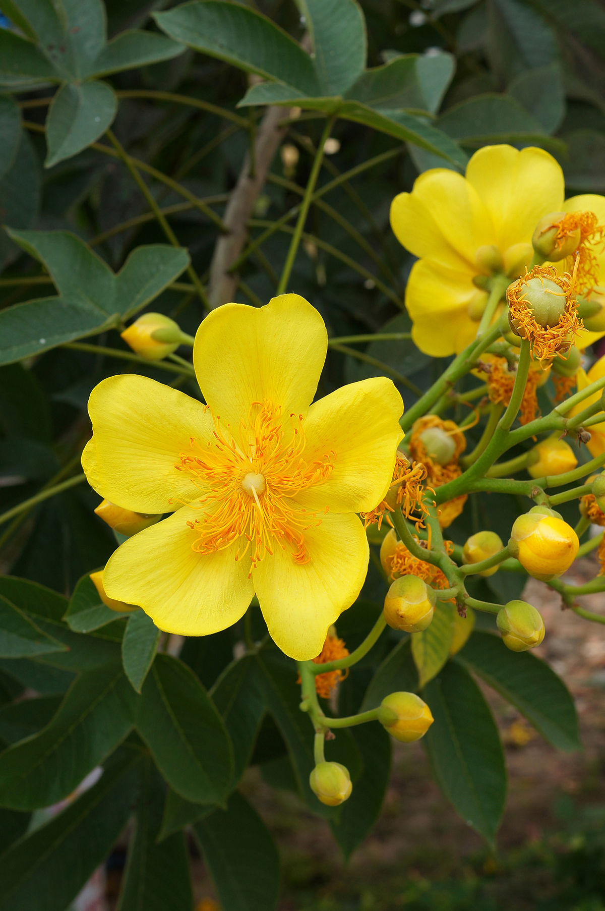 Cochlospermum Religiosum Wikispecies
