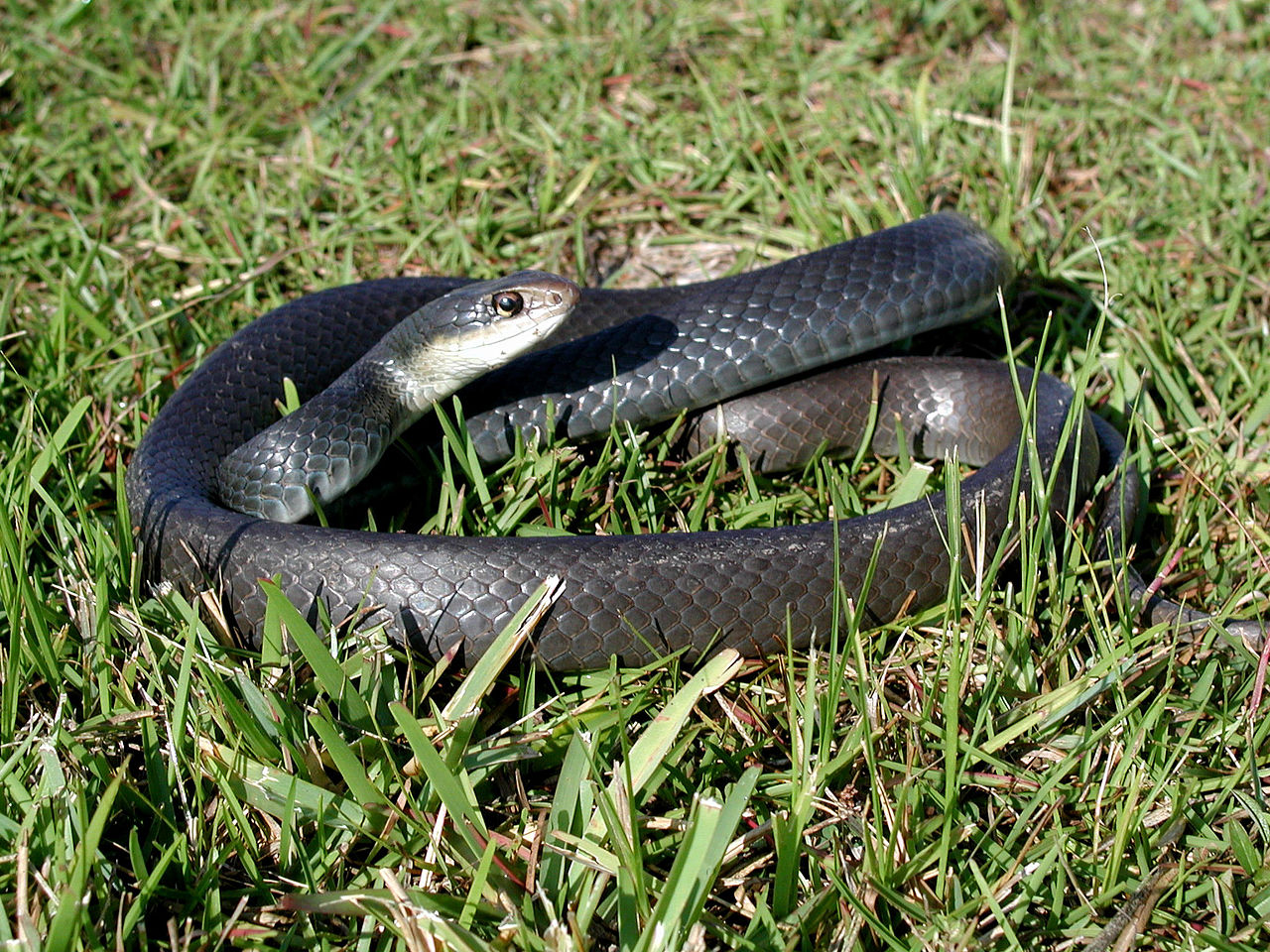 Commonly Confused Snakes in Central Florida - Natural ...