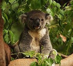smiling koala picture - HD2355×2121