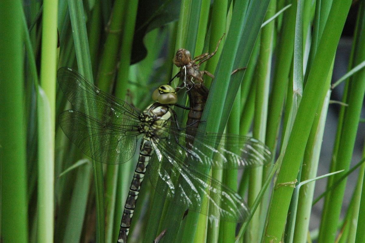 Odonata Wikispecies