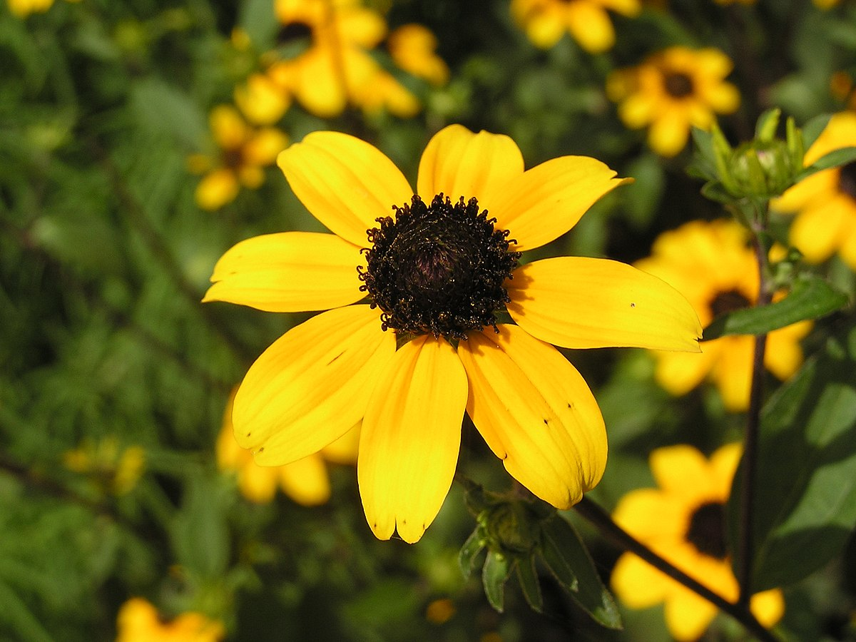 brown eyed susan - HD 1200×900