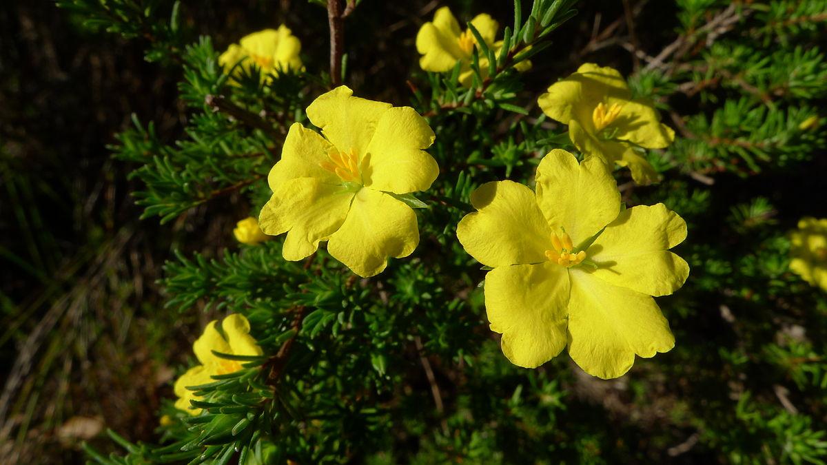 Hibbertia Cistiflora Wikipedia
