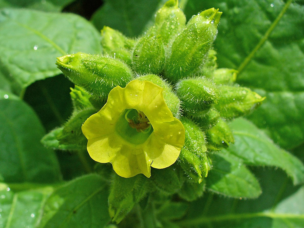 Nicotiana Rustica Wikispecies