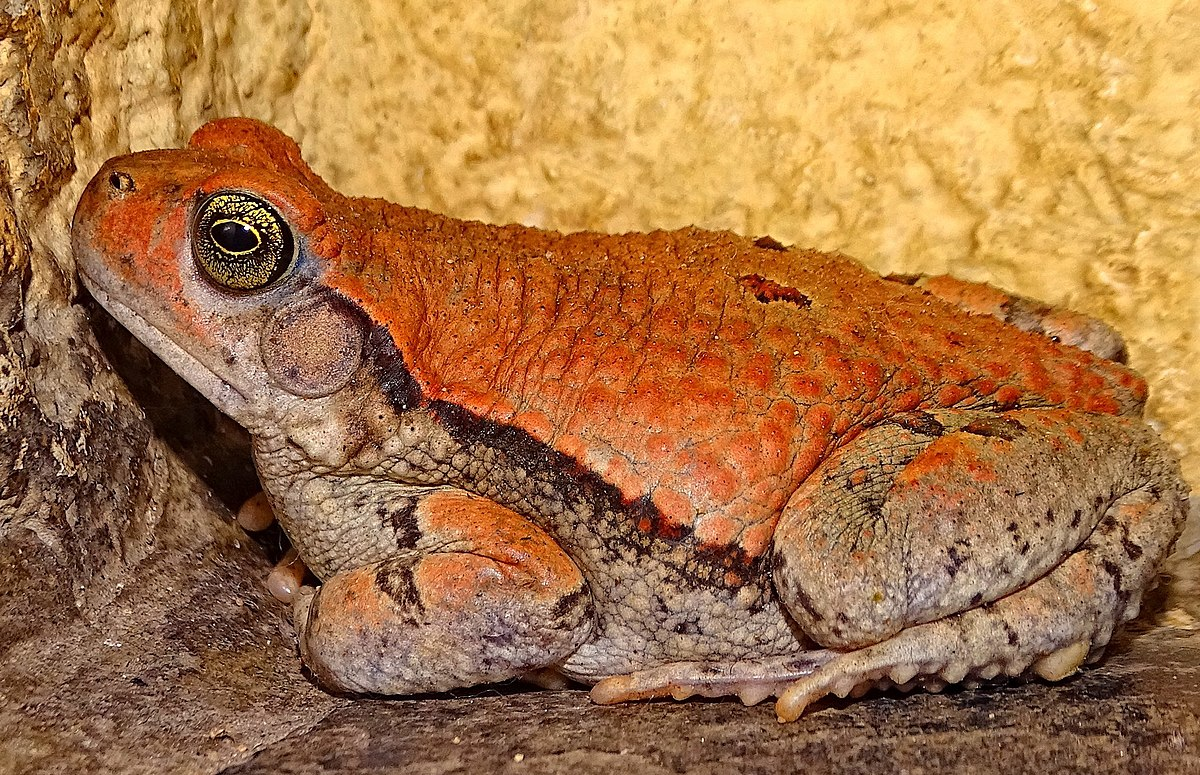 African red toad - Wikipedia
