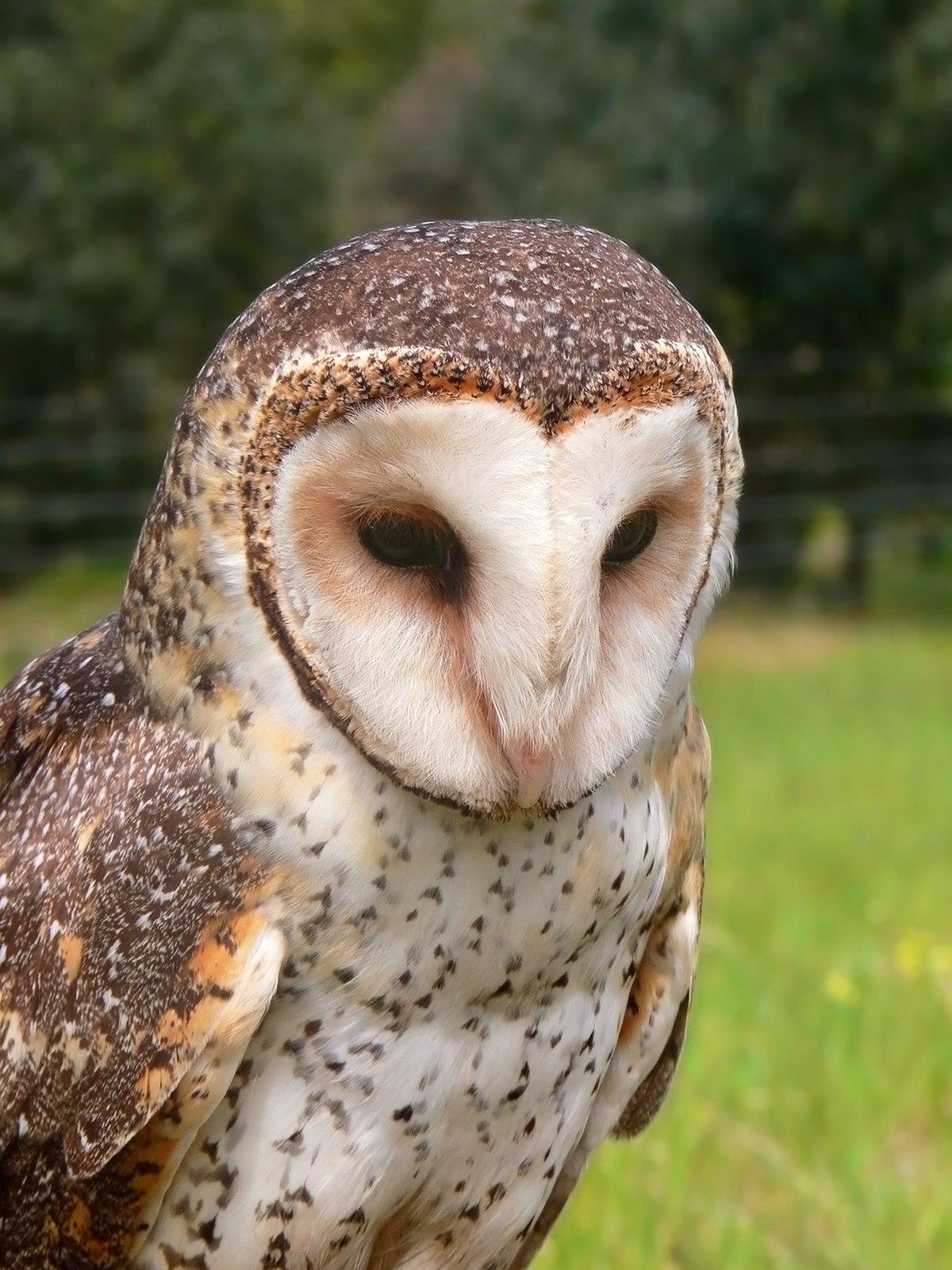 Barn-owl - Wikipedia