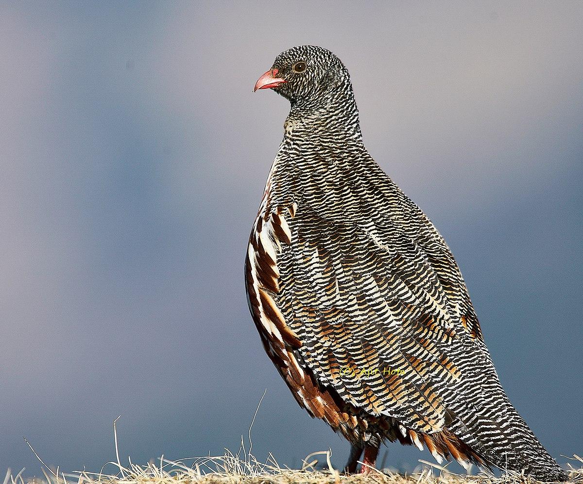 Snow Partridge Wikipedia