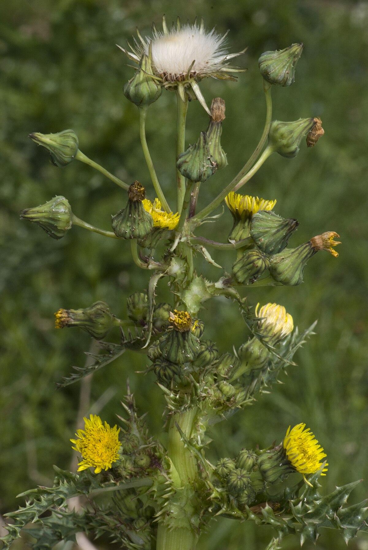 Sonchus Asper Wikispecies