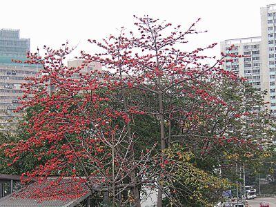 Bombax ceiba - Wikipedia, la enciclopedia libre