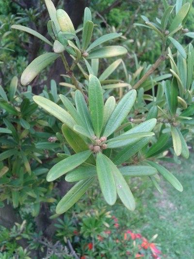 Podocarpus costalis - Wikipedia