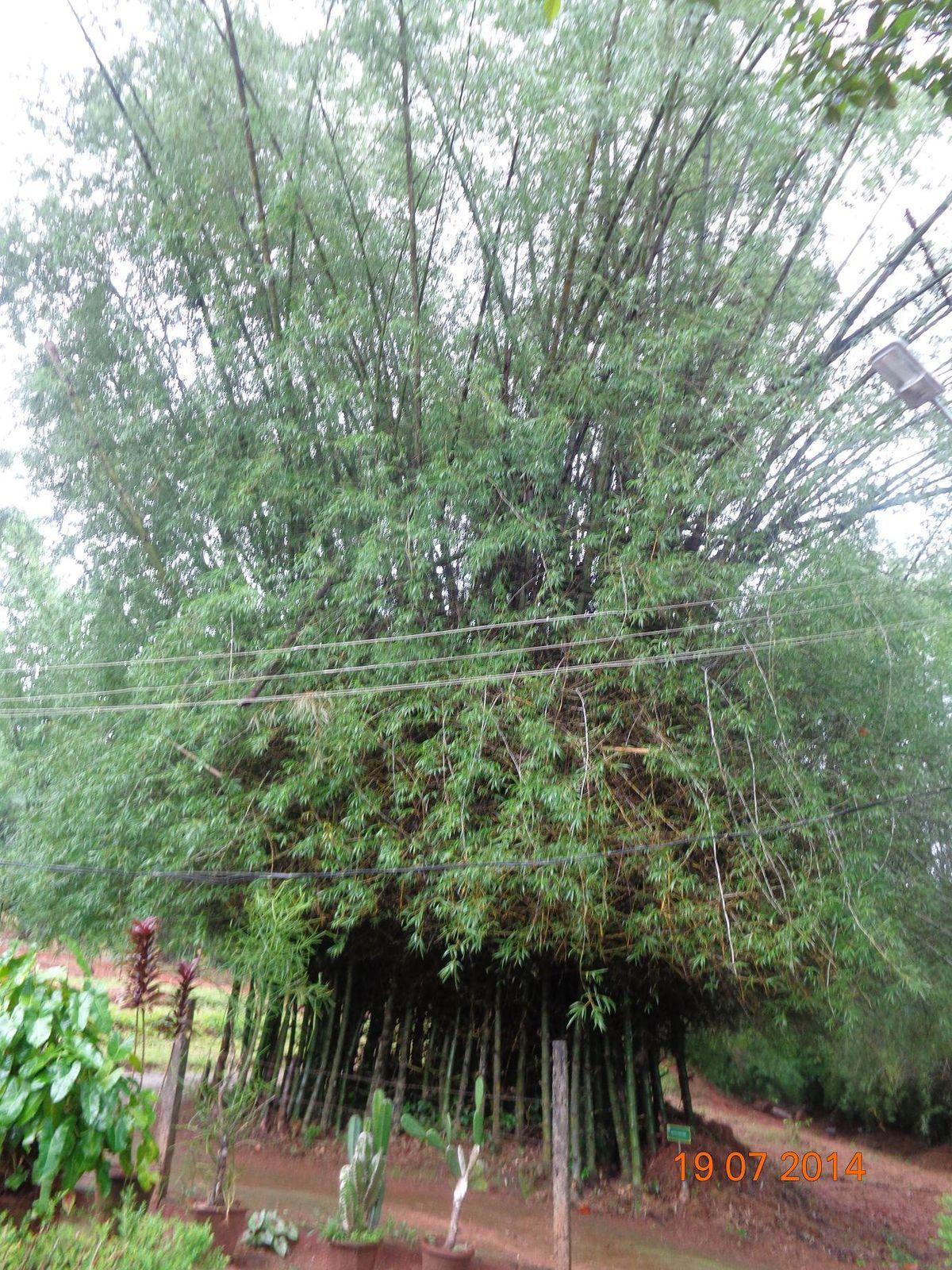 Bambusa Bambos Wikipedia