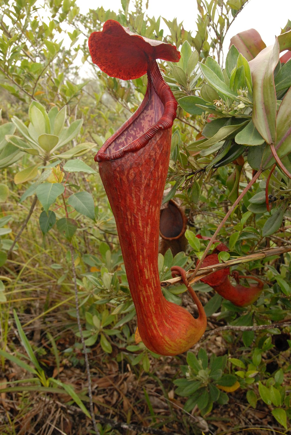 Nepenthes Pulchra Wikimedia Commons