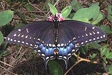 Papilio polyxenes - Wikipedia